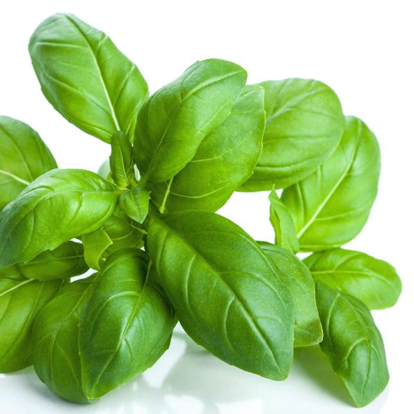 Picture of fresh basil leaves on a white background