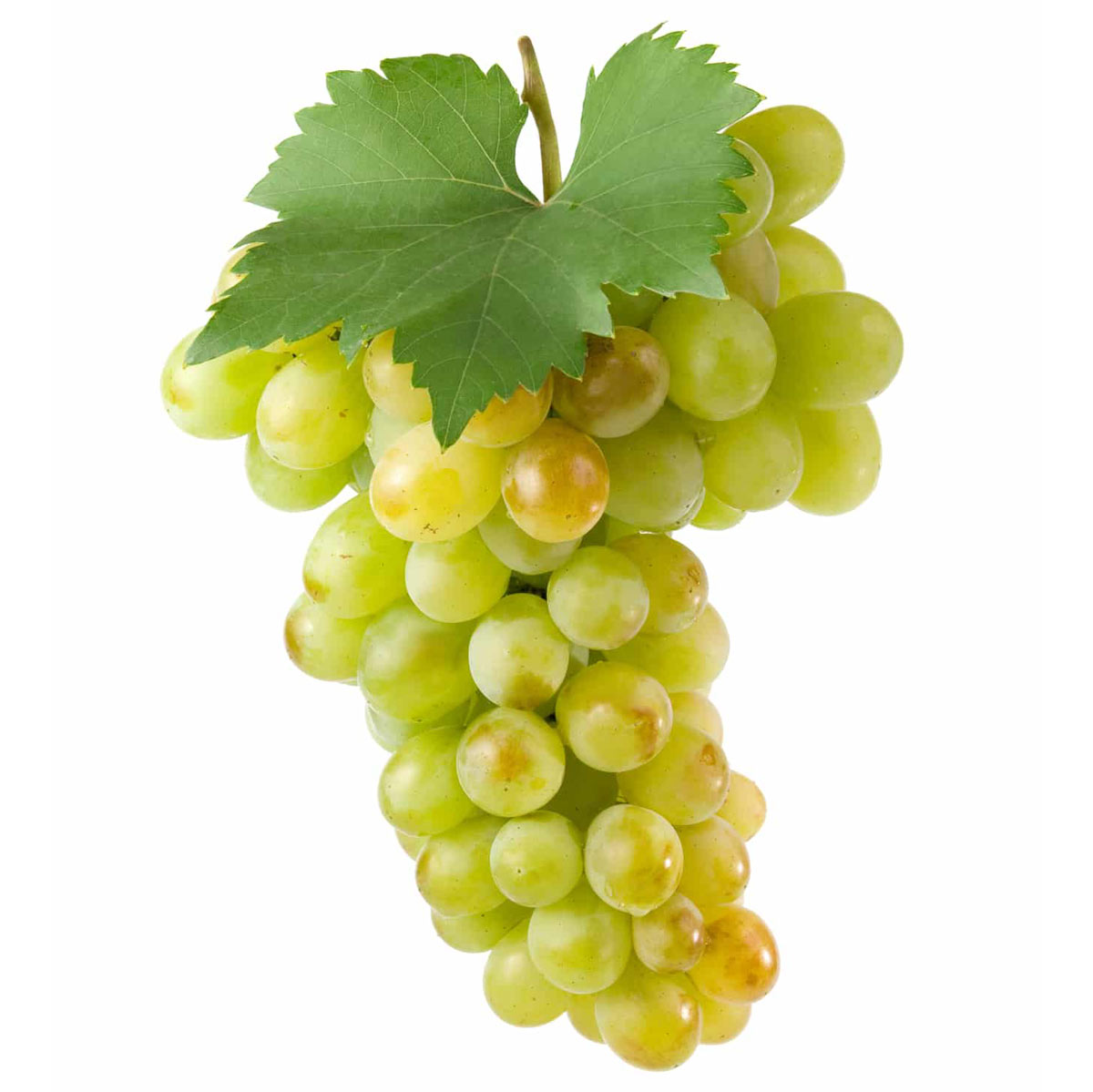 Trebbiano grapes with green leaves